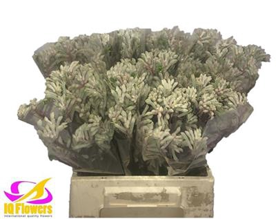 <h4>ANIGOZ BUSH DIAMOND</h4>