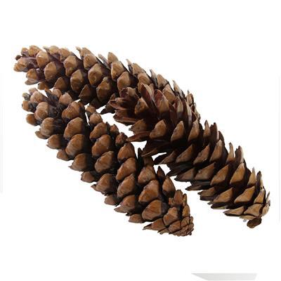<h4>Pommes de pin strobus grand nat. 20-23cm Boîte50pc</h4>