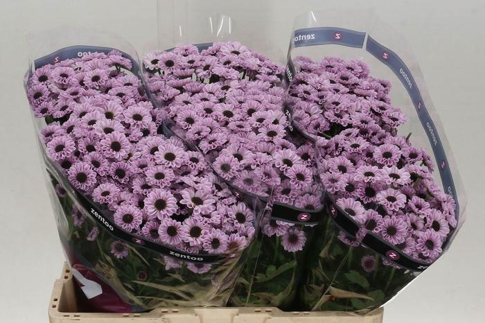 <h4>Chrysant santini Yin Yang Pink</h4>