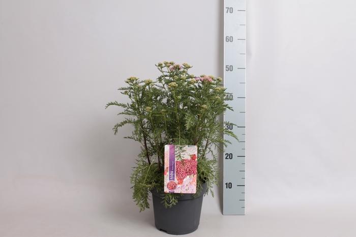 <h4>vaste planten 19 cm  Achillea Tutti Frutti Pink Grapefruit</h4>