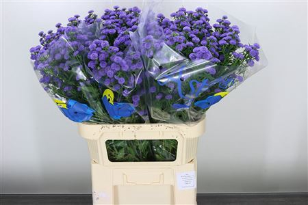 <h4>Aster Astee Parade Blue</h4>