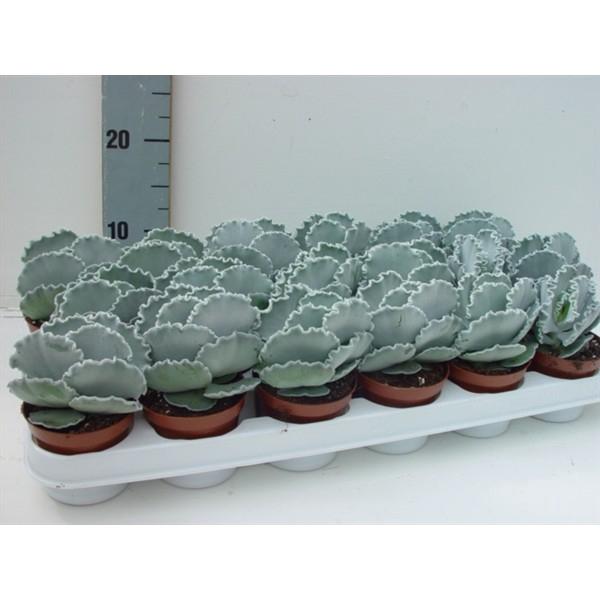 <h4>Cotyledon undulata</h4>