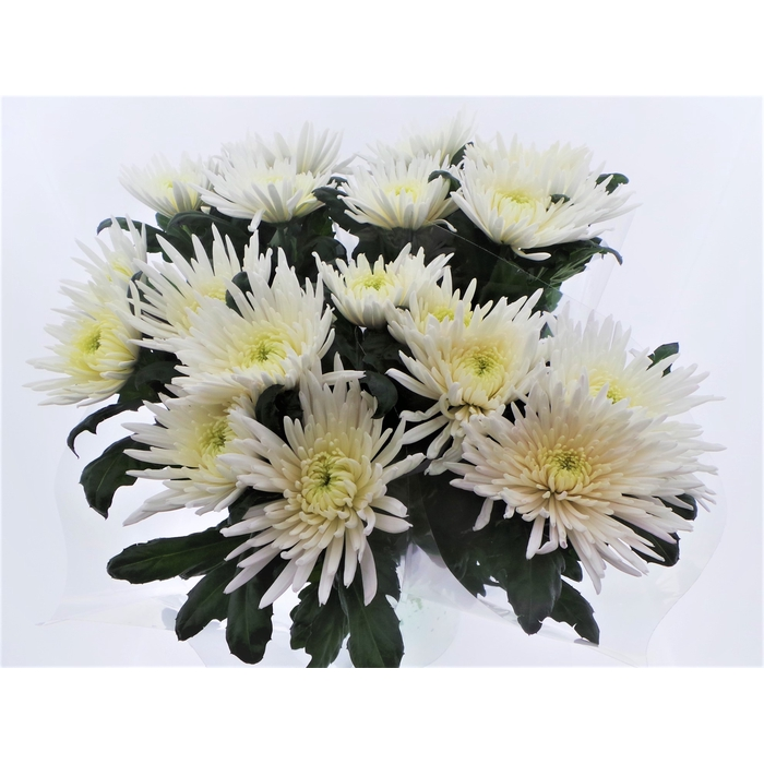 <h4>Bouquet mono Anastasia x5 60cm</h4>