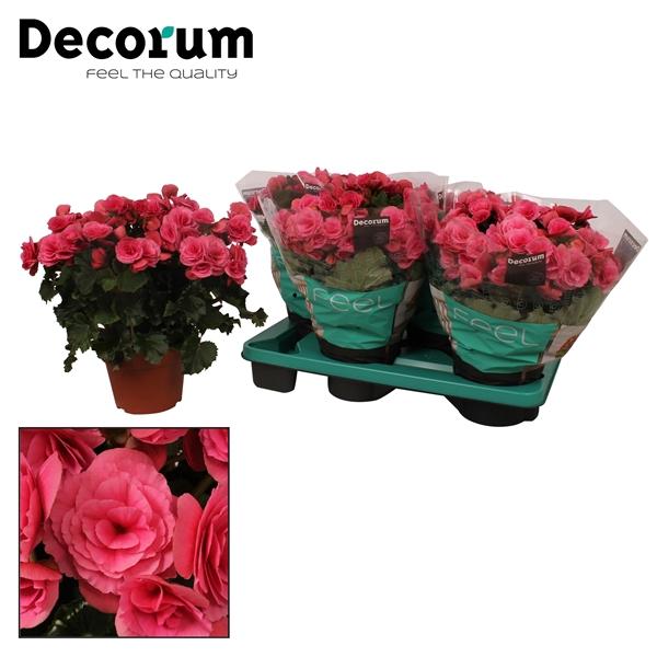 <h4>Begonia ''berseba''</h4>