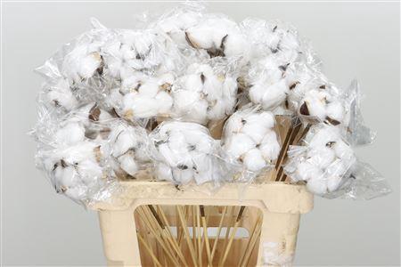 <h4>Deco Stem Cotton 3head</h4>
