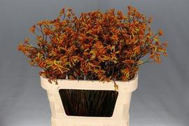 <h4>Anigozanthus Bush Sunset</h4>