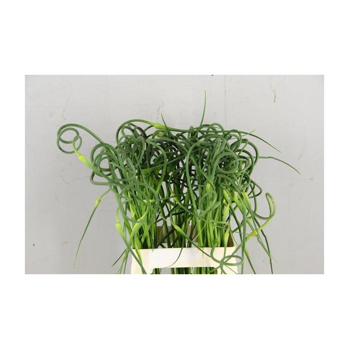 <h4>Allium Sat Ophioscor</h4>