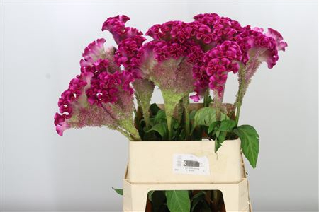 <h4>Celosia C Turbo Lilac Pink</h4>