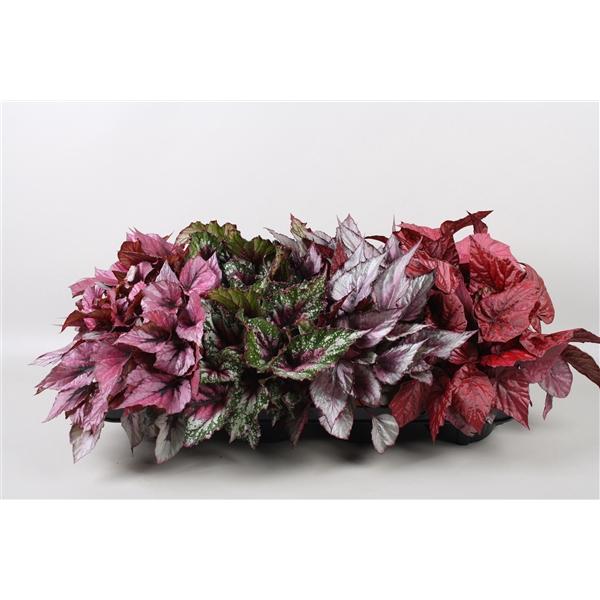 <h4>Begonia Beleaf mix</h4>