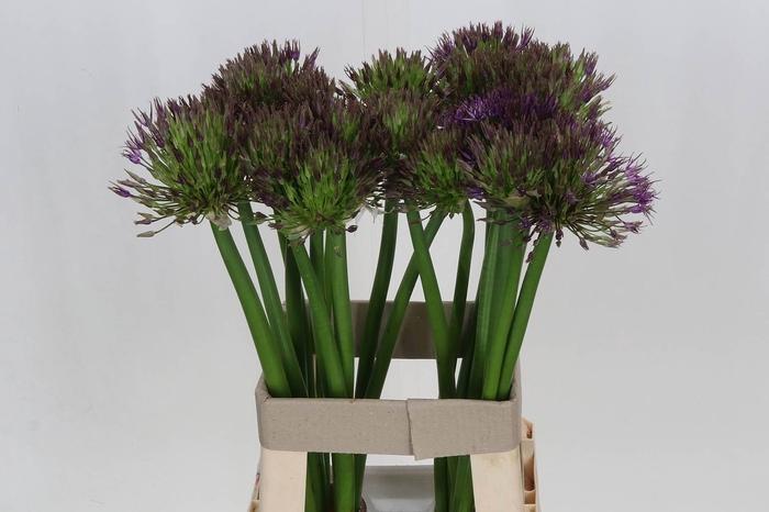 <h4>Allium Universe</h4>