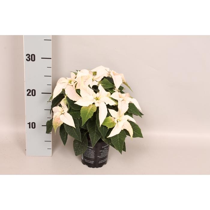 <h4>Poinsettia 10,5 cm Princettia Pure White</h4>