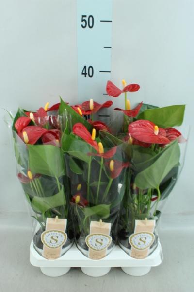<h4>Anthurium andr. 'Red Champion'</h4>