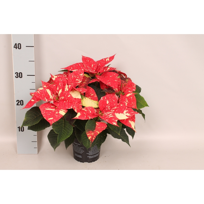 <h4>Poinsettia 13 cm Christmas Feelings® Glitter</h4>