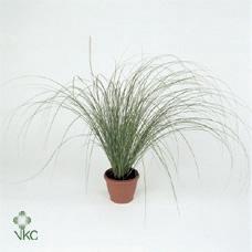 <h4>Carex morrowii Irish Green</h4>