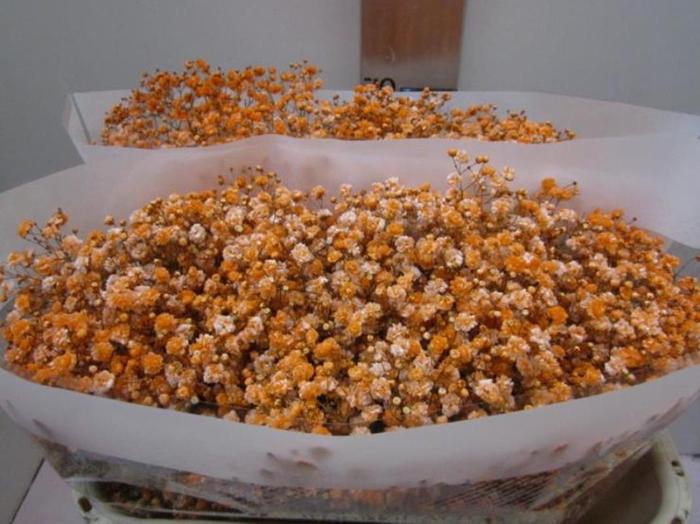<h4>Gips Optrek Oranje</h4>