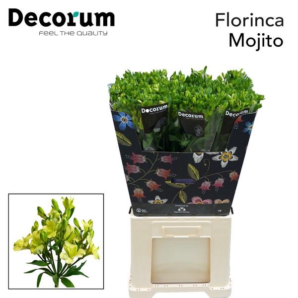 <h4>Alstroemeria florinca Mojito</h4>