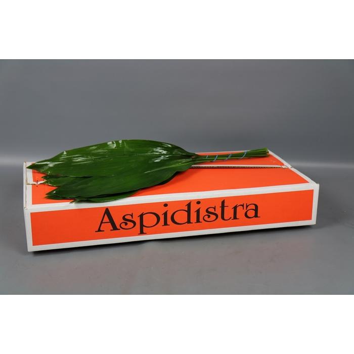 <h4>Aspidistra</h4>