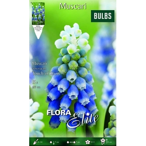 Z Muscari Touch Of Snow