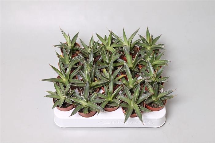 <h4>Agave filifera</h4>