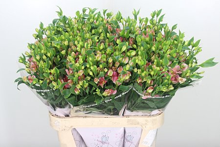 <h4>Alstr Flor Charmelia Pink</h4>