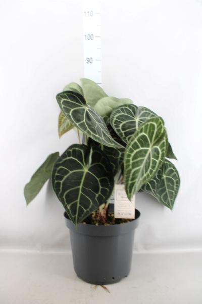 <h4>Anthurium clarinervium</h4>