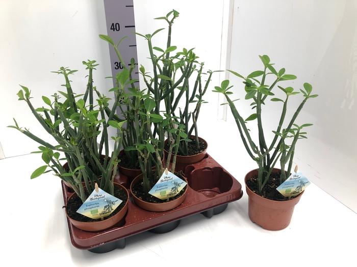 <h4>Euphorbia 13Ø 35cm Phosphore</h4>