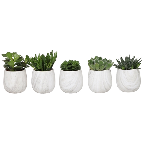 <h4>Little lizard greens succulenten in marble pot grey</h4>