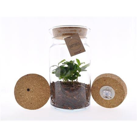 <h4>Arr Coffea Arabica Glas Luma Flora + Kurk Led</h4>