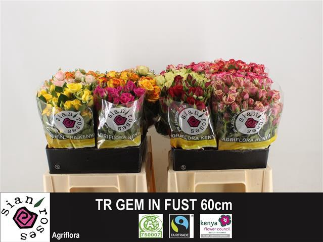 <h4>R TR GEM IN FUST</h4>