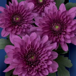 Chrysanthemum spray podolsk purpura