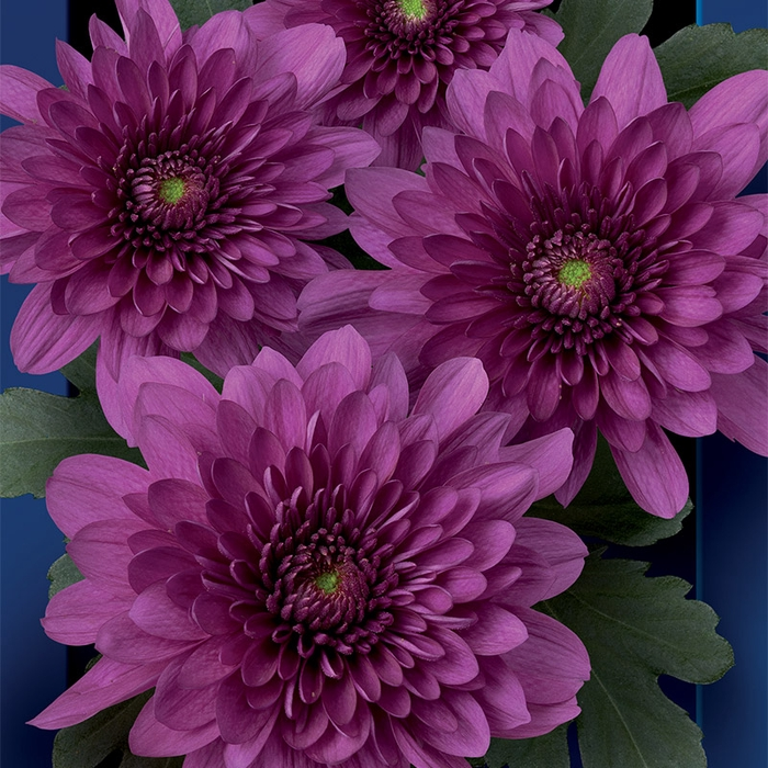 <h4>Chrysanthemum spray podolsk purpura</h4>