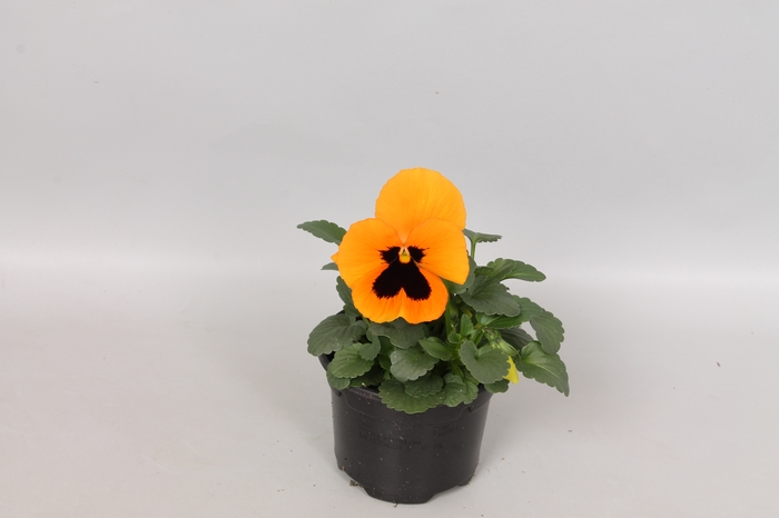 Viola wittrockiana F1 Orange Blotch
