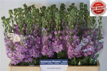 <h4>Matth Figaro Lavende</h4>