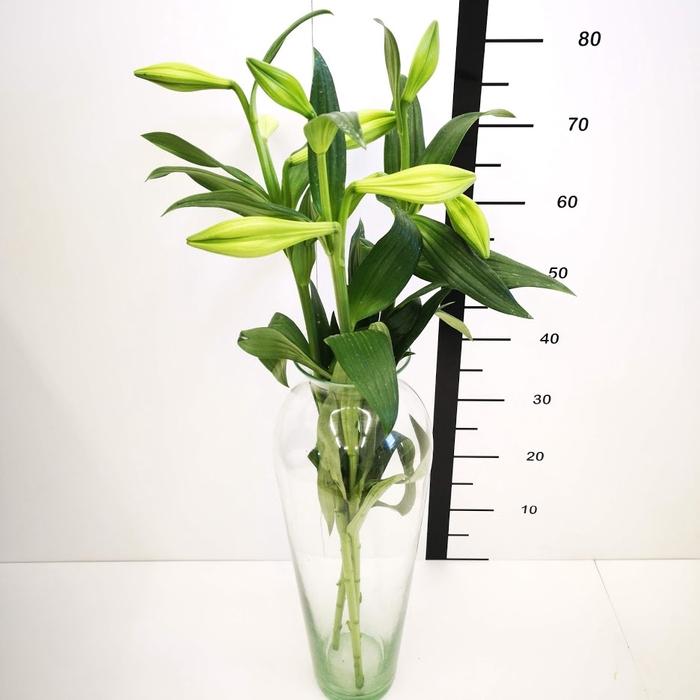 <h4>Lilium Longiflorum Blanco</h4>