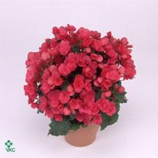 <h4>Begonia el. Betulia Pink</h4>