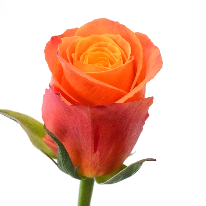 <h4>Rose Confidential</h4>