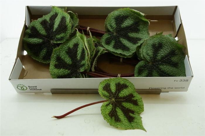 <h4>Begonia Masoniana Iron Cross Lf</h4>