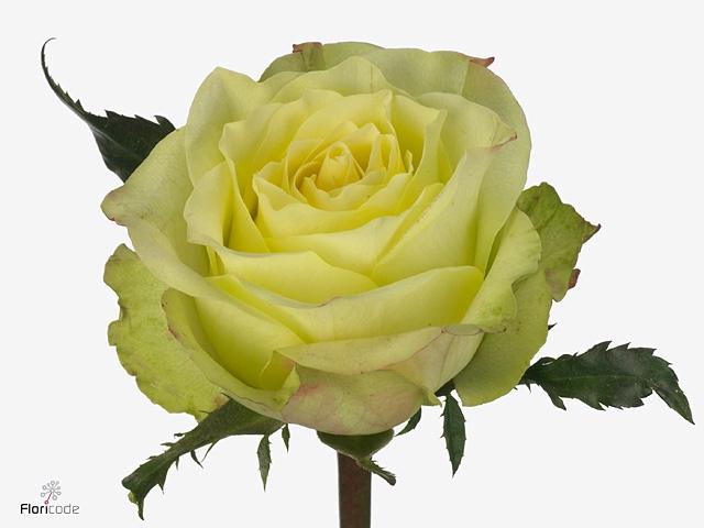 Rosa large flowered Fairway