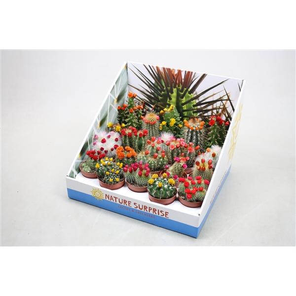 <h4>Cactus versierd Met kleine strobloemen in presentat</h4>