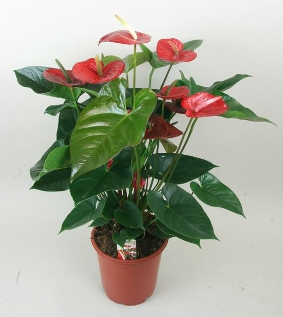 <h4>Anthurium andr. 'Bugatti Red'</h4>