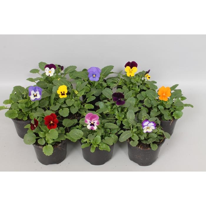 <h4>Viola cornuta sixpack F1 Gemengd</h4>