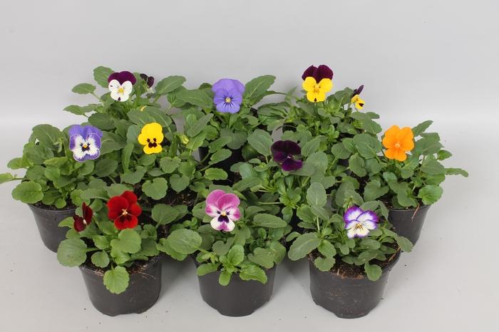 <h4>Viola cornuta F1 Gemengd</h4>