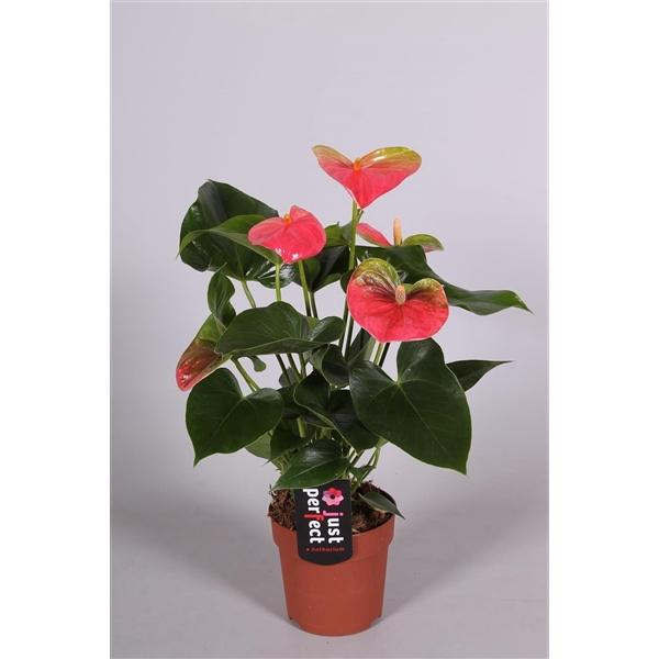 <h4>Anthurium Sweetheart Pink</h4>