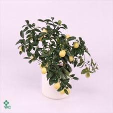 <h4>Citrof Vulcan Lemon Trelly</h4>