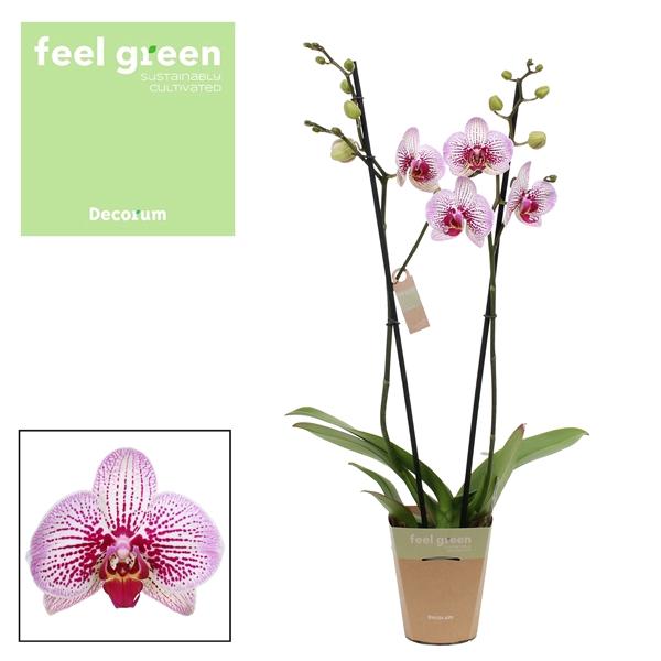 <h4>Phalaenopsis Mansion</h4>