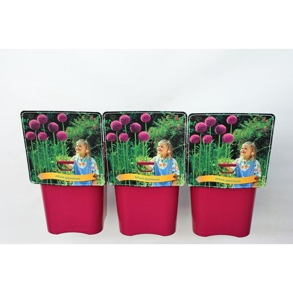 <h4>Allium 'Giganteum'' C5</h4>