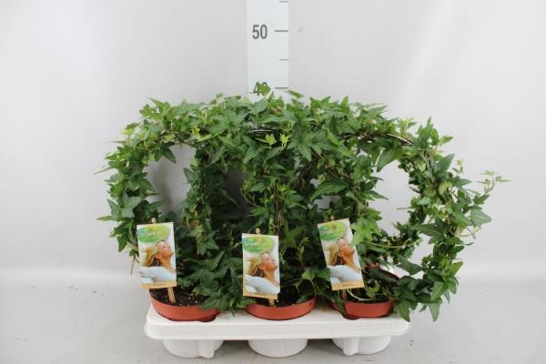 <h4>Hedera   ...green leafed</h4>