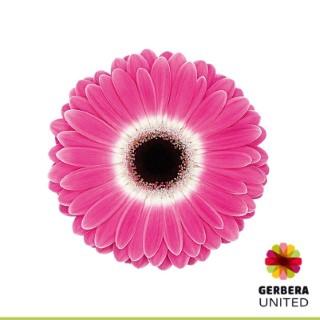 <h4>Gerbera Cubanita</h4>