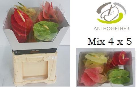 <h4>Anthurium andr.   ...mix 4</h4>