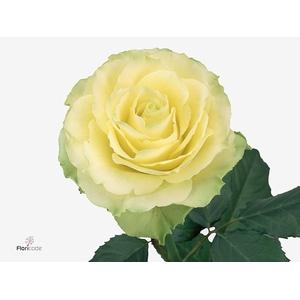 Rosa Gr. Limbo